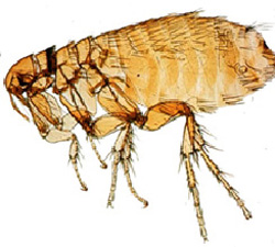 close up picture of a flea