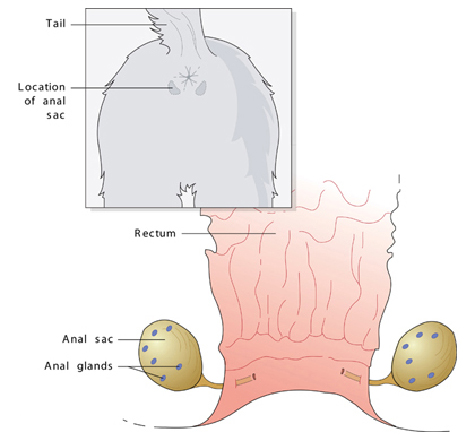 anal_gland_tumors-1