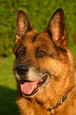 degenerative_myelopathy_in_the_dog-1_-_2009