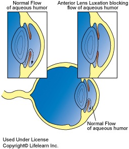 canine lens lucation diagram