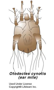 ear_mites-otodectes1