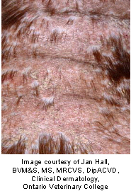 image of calcinosis circumpscripta in cats