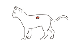 diagram of location of kidneys in cat