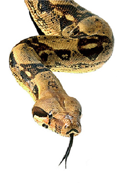 snakebite_envenomization-1_2009